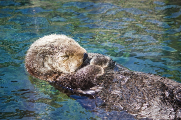 Sea Otters can sleep on their backs in the water.